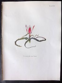 Dykes 1930 Botanical Print. Tulip Clusiana DC from Tibet 24